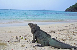 Endemic species of Iguana in Mona Island, Puerto Rico. by Juan Torres 